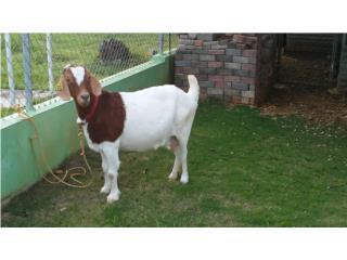 Se vende cabra boar pura Puerto Rico