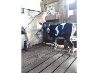 Cabras enanas Puerto Rico