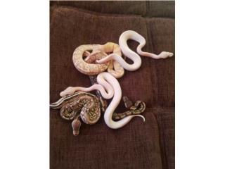 variedad de ball python Puerto Rico