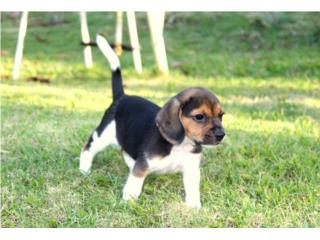 Puerto Rico Hermoso Beagle , Perros Gatos y Caballos