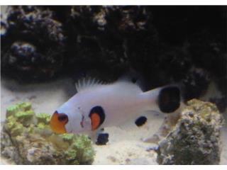 venta peces de agua dulce salada y corales  Puerto Rico