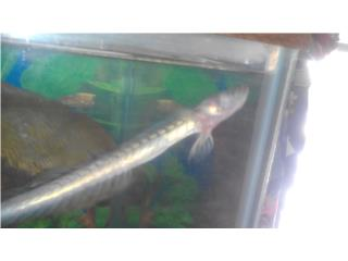 Dragonfish Para Cambiar Puerto Rico