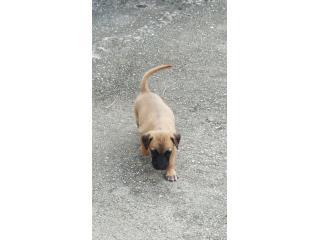 Se regalan perritos satos Puerto Rico