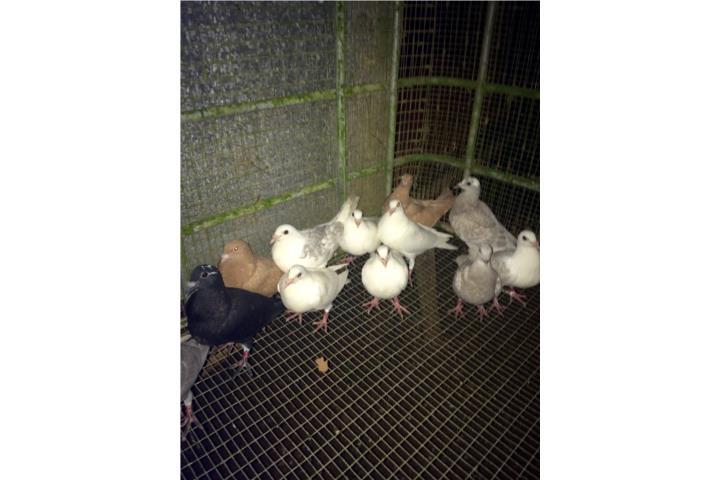 Pichones de palomas mensajeras sin volar puerto rico - Volar a puerto rico ...