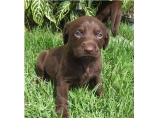 Puerto Rico Labradores AKC Chocolate Ojos Azules!!, Perros Gatos y Caballos