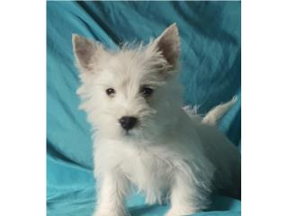 Puerto Rico West Highland White Terrier, Perros Gatos y Caballos