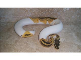 Yellow belly pied macho  Puerto Rico
