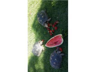 Tortugas Red Foot en venta Puerto Rico