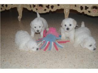 Puerto Rico Bichon Frise, Perros Gatos y Caballos