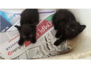 Se regalan gatitos preciosos negritos Puerto Rico