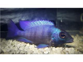 Placidochromis gissel Puerto Rico