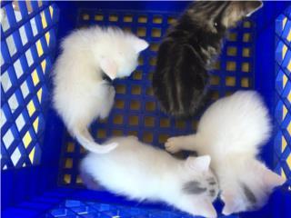 Se regalan gatitos bebes Puerto Rico