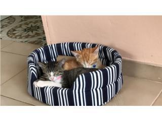 Macho y hembra (Gatos) Puerto Rico