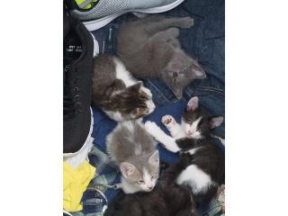 gatitos para adopcion Puerto Rico