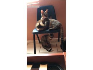 Regalo 3 gatos hermosos, Grey Taby.  Puerto Rico