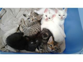 gatitos para adoptar Puerto Rico