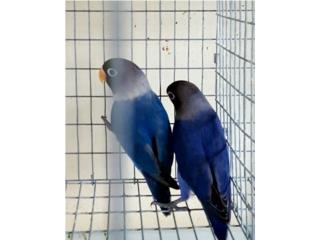 Love Birds esmascarados violeta Puerto Rico