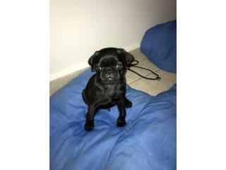 Pug negro solo $250 Puerto Rico