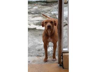 regalo perrita pitbull de 9 meses Puerto Rico