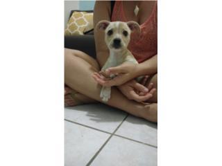 Urgente pequeña perrita encontrada Puerto Rico