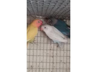 Lovebird anillado  Puerto Rico
