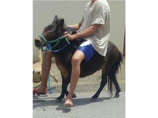 Precioso mulo enano ganga$450 Puerto Rico