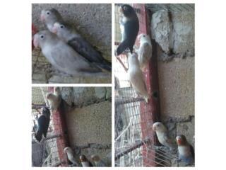 VENTA DE LOVEBIRDS  Puerto Rico