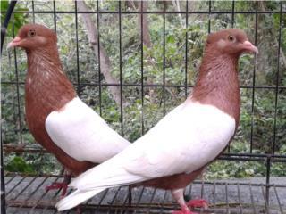 palomas arcangel de show Puerto Rico