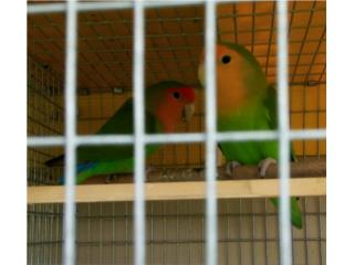 Pareja de lovebirds Puerto Rico