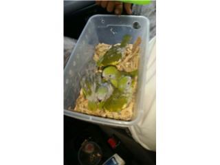 Canary Wing $40  Puerto Rico