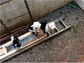 Puerto Rico Precioso Pitbull, Blanco y Negro $500, , Perros Gatos y Caballos