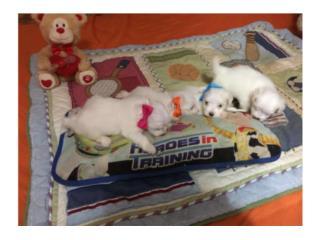 Puerto Rico Venta de Maltes, Perros Gatos y Caballos
