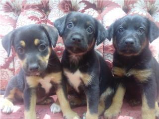 Puerto Rico Puppies, Perros Gatos y Caballos