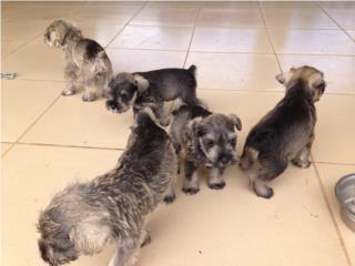Puerto Rico miniatura Schnauzer $300   , Perros Gatos y Caballos