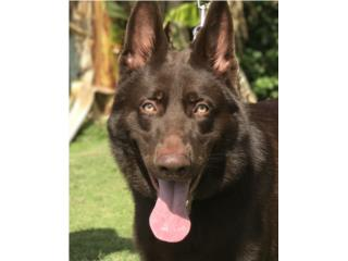 Puerto Rico German Shepherd liversAKC, Perros Gatos y Caballos