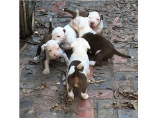 Puerto Rico Pitbull Puppies solo $120- 5 semanas nacidos, Perros Gatos y Caballos