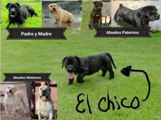 Puerto Rico Precioso cachorro Boerboel, Perros Gatos y Caballos