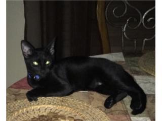 Gato para Adopción  Puerto Rico