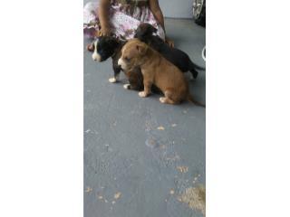 Perritos para adopcion 1 mes Puerto Rico