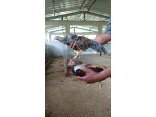 Pollos finos 4 por 100 Puerto Rico