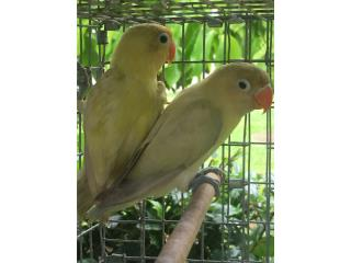 ** pareja de lovebird yellow** Puerto Rico