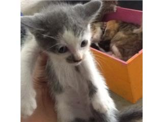 Hermoso gatito para adopción  Puerto Rico