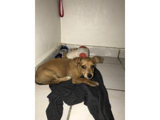 Perrito bien bello busca hogar  Puerto Rico