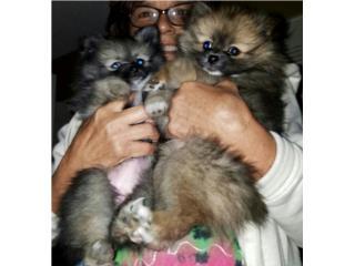 Pomeraniam AKC toys a la venta  Puerto Rico