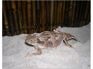 Horned Toad Lizard Puerto Rico