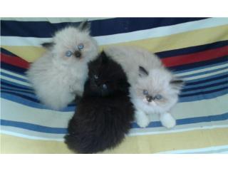 Gatitos Persas con ojos azules, bien peludito Puerto Rico