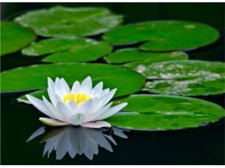 plantas water lily y mas variedad Puerto Rico