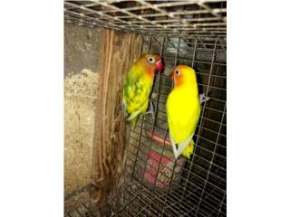 Pareja de Lovebird  Puerto Rico