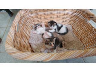 Se regalan gatitos. 2 nenes y una nena Puerto Rico