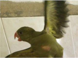Ring neck verde olivo 125 Puerto Rico